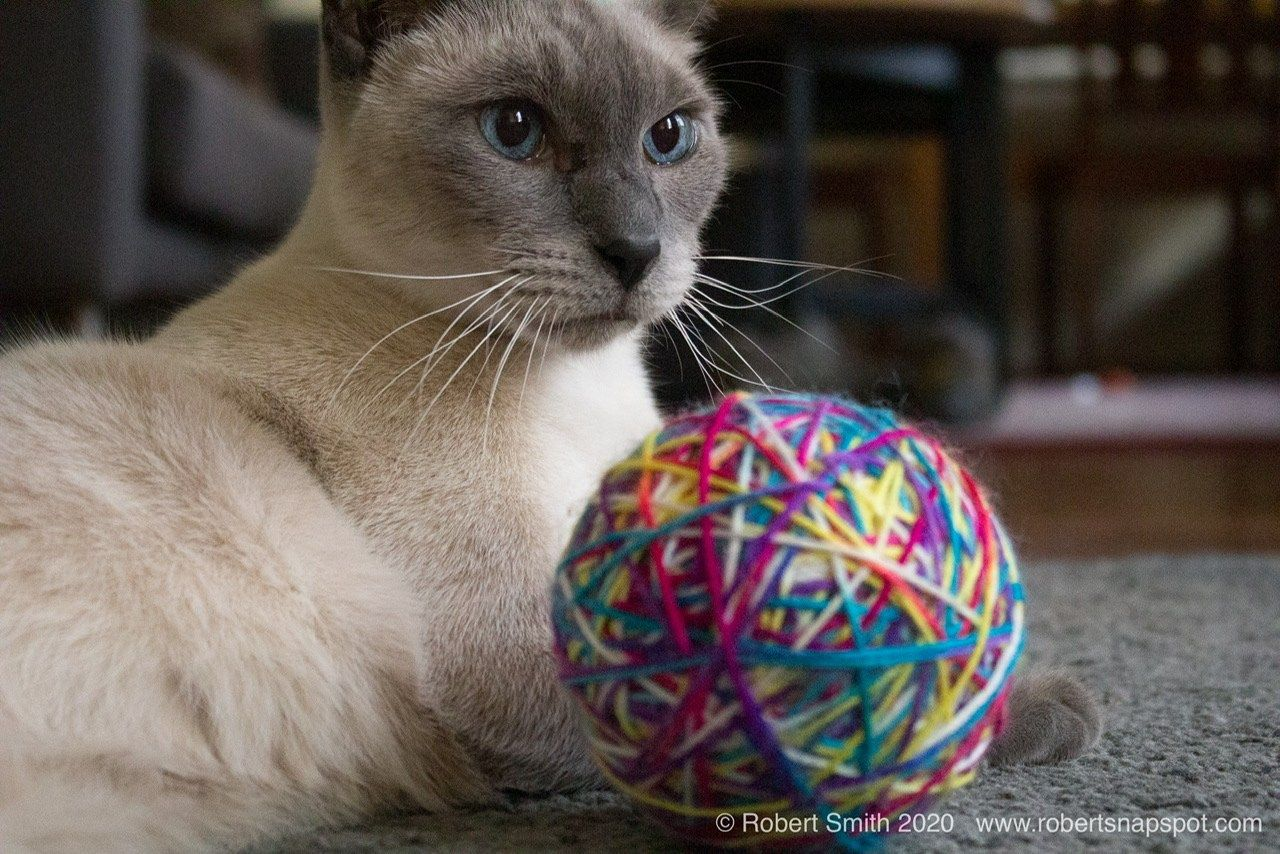 Five Minutes With Benny And A Ball Of Yarn In 2020 Cat Photography Animal Photography Cat Lovers