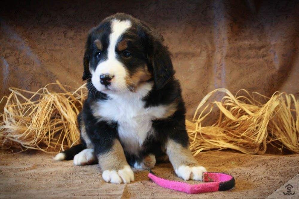 May New Litter Of Bernese Mountain Dog Puppies For Raised On The Sweeer Farms Ranch