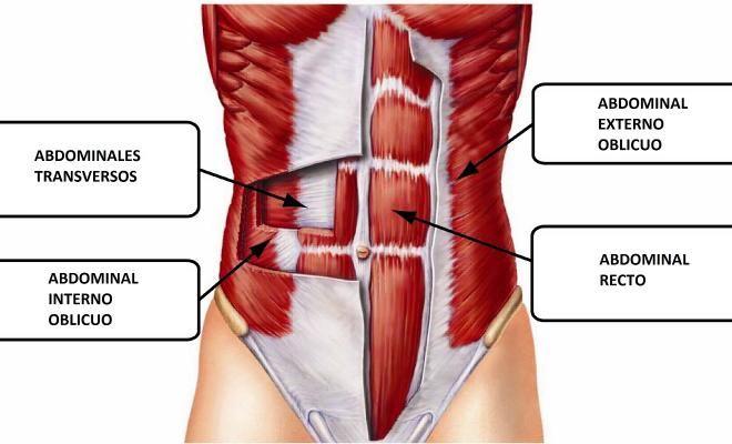 Resultado de imagen de dibujo musculo oblicuo abdomen | MUSCULOS ...