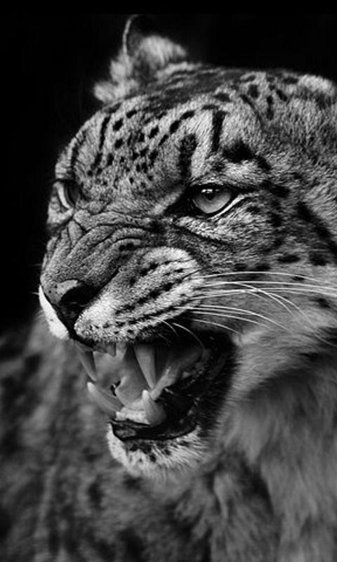 Black Cheetah Wallpapers Wallpaper 1300 957 Black And White Cheetah Wallpaper 29 Wallpapers Adorable Wallpapers Cheetah Wallpaper Animals Wild Cats