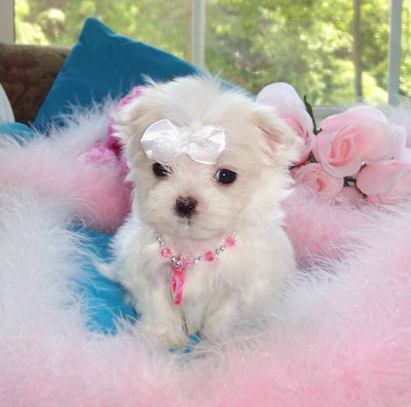 Maltese Puppies For Free Teacup Maltese Dog For Sale