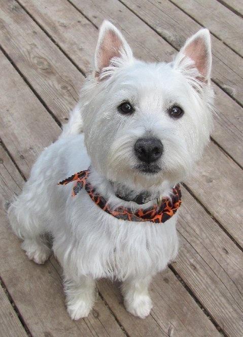 Adopt West Highland Terrier Zoe Adoption Pending On West Highland Terrier Westie Dogs Terrier Breeds