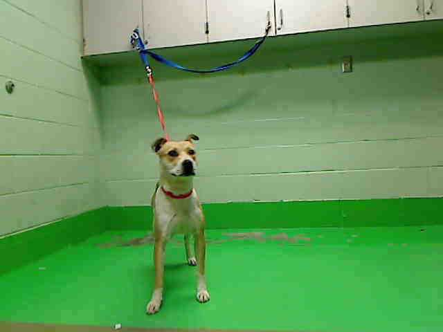 ID#A445492  I am described as a female, tan and white Pit Bull Terrier mix.  The shelter thinks I am about 1 year.  I have been at the shelter since Feb 02, 2015 and I am available for adoption now!  If you think I am your missing pet, please call or visit right away.