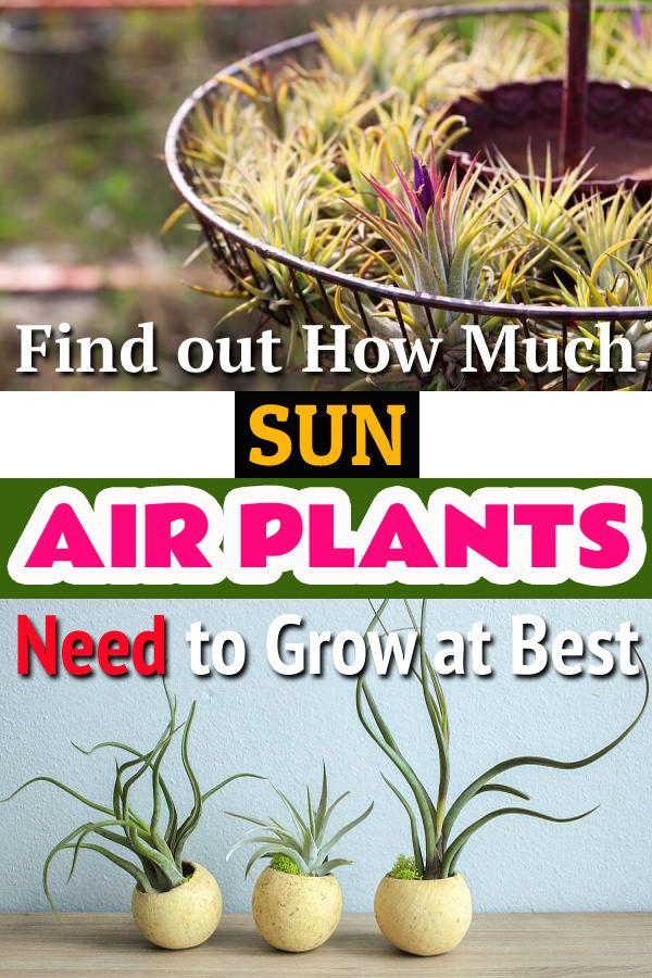 Do Air Plants Need Sun? Air plants, Plants, Plant needs