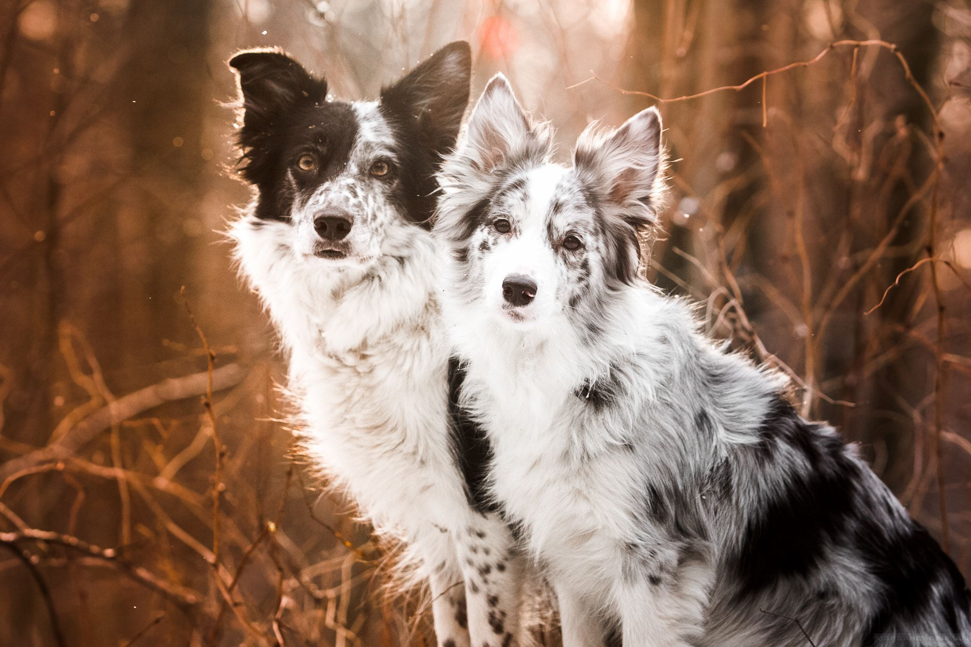 Border Collies Null Bordercollie Dog Breeds Border Collie