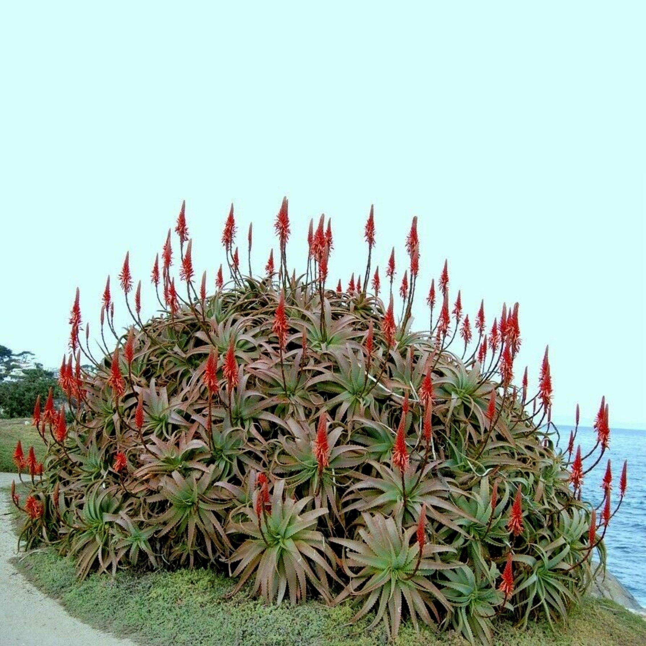 Krantz Aloe Candelabra Aloe Seeds Aloe Arborescens In 2020 Flowering Succulents Arborescens Perennial Plants