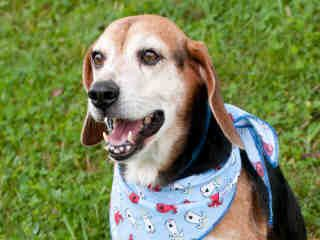 Geppetto Animal Id A263338 Eight Year Old Male Beagle Animals Animal Shelter Dog Images