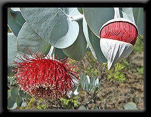 Mottlecah Eucalyptus Macrocarpa This Prehistoric Looking Plant Is A Native Of Western A Australian Flowers Australian Native Flowers Australian Wildflowers