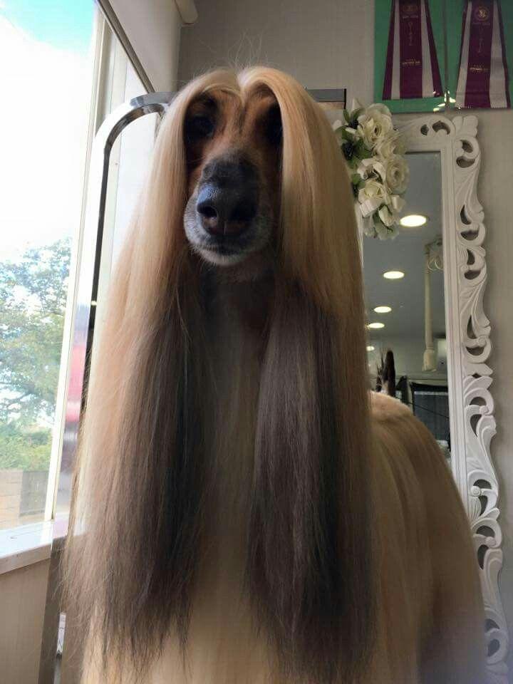 And Ears Afghan Hound Dog Grooming Tibetan Terrier