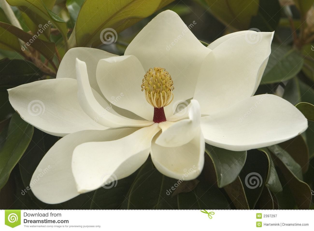 Magnolia Stamens Royalty Free Stock Images Image 5002999 Magnolia Blossom White Magnolia Magnolia Flower