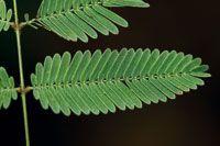 Hoja compuesta de la Mimosa pudica, tapizada de vellos que dificultan el accionar de las orugas.