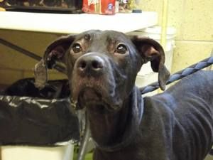 Serenity-PLS HELP is an adoptable Black Labrador Retriever Dog in Mansfield, OH. Hi, my name is Serenity. I came to the shelter as a stray on 8/6/13. I wish I could talk to tell you what I have been ...