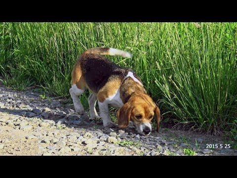 Skyview S Beagles Ez And Abby Another Hot Day In The Thicket May