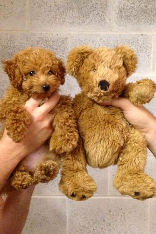 Regilla Una Fiorentina In California Cute Animals Teddy Bear Dog Cute Baby Animals