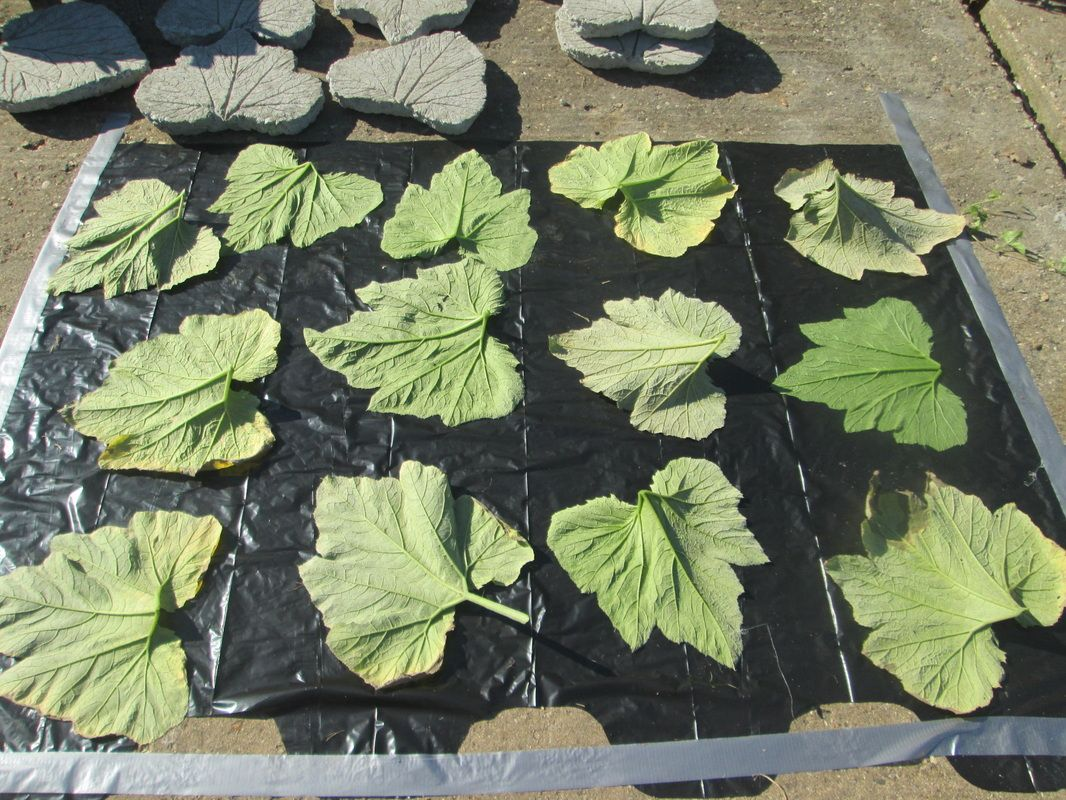 Picture Of Rhubarb Leaf Stepping Stones   Directions And More Pictures  Included