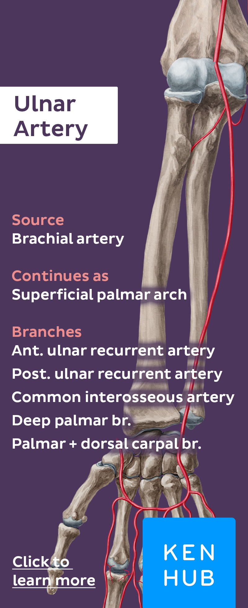 Ulnar Artery Blood Vessels Anatomy And Blood