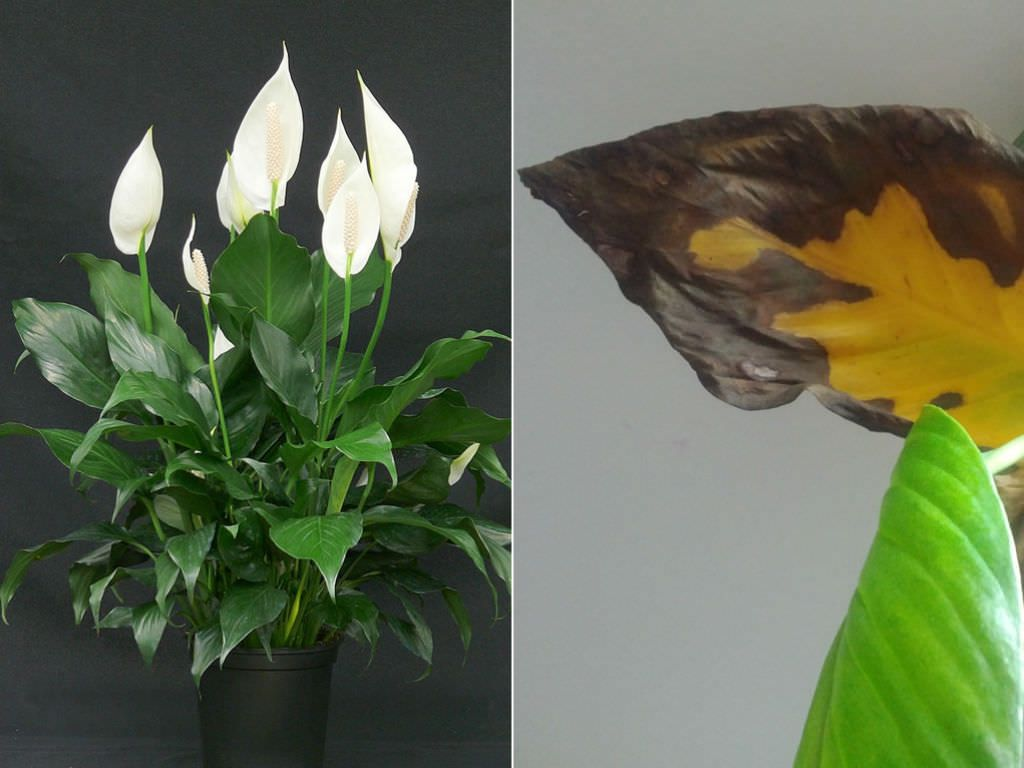 Why Do Peace Lily Leaves Turn Yellow Or Brown World Of Flowering Plants Peace Lily Peace Lily Plant Peace Plant