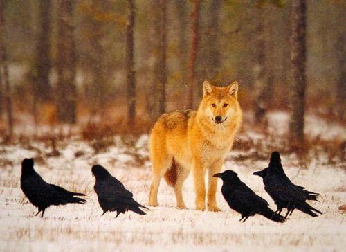 ravens and wolves - Google zoeken
