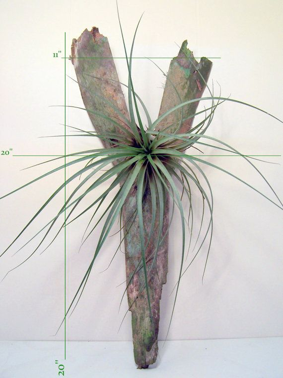 Air Plant On Wood Display Made From A Sabal Palm Tree Boot Living Wall Art