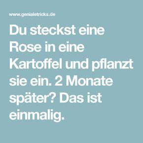 du steckst eine rose in eine kartoffel und pflanzt sie ein 2 monate sp ter das ist einmalig. Black Bedroom Furniture Sets. Home Design Ideas