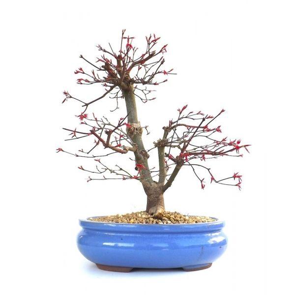 Acheter ce très beau Bonsaï Acer Palmatum Deshojo de 43 cm 140302 importé du Japon chez votre Spécialiste du Bonsai en Ligne, Sankaly Bonsaï
