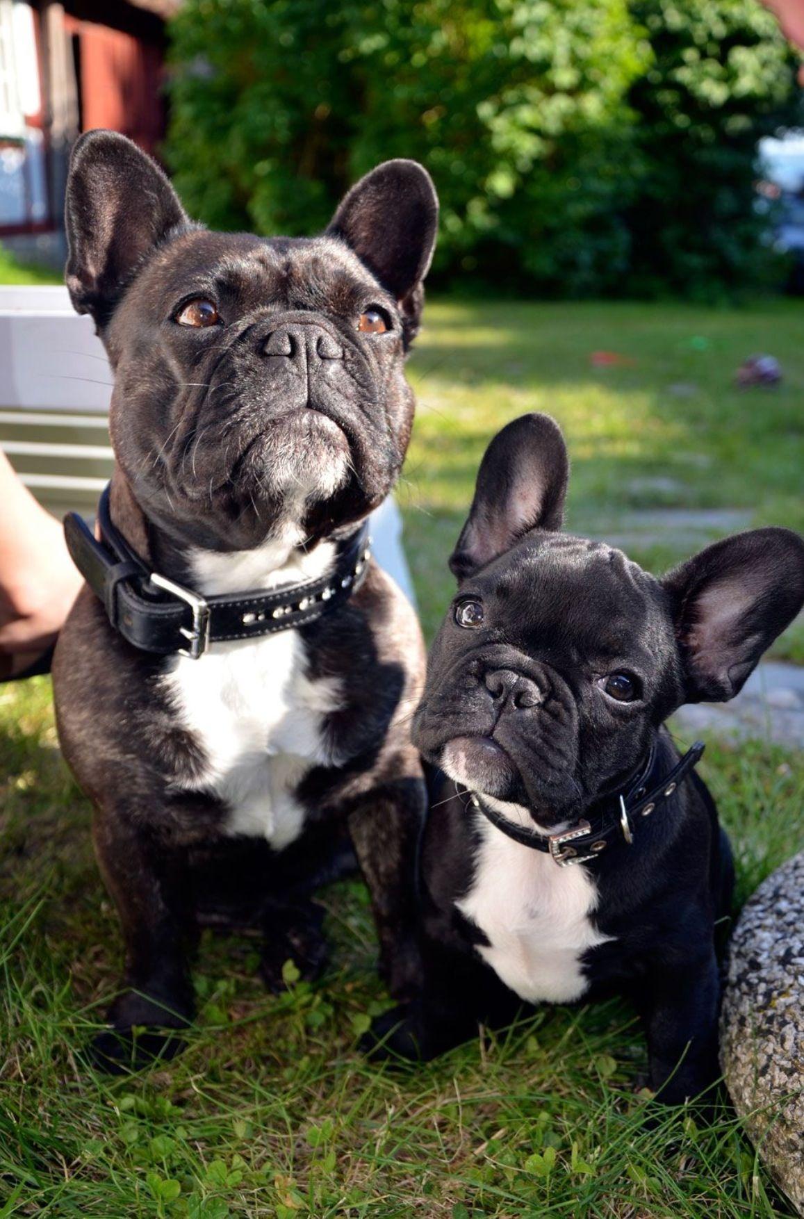 Pin By Melina Togni On Cute Bulldog Puppies French Bulldog