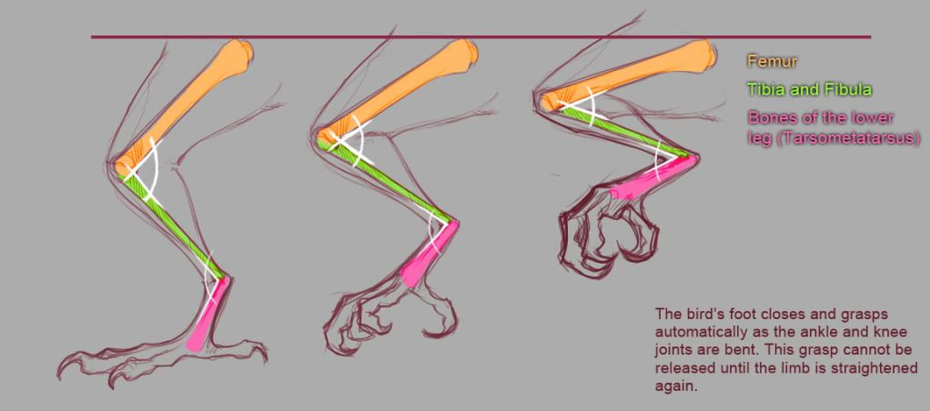 The structure of bird feet is set up so that the foot automatically ...