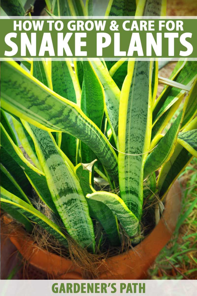 How to Grow and Care for Snake Pants (Sansevieria Plants