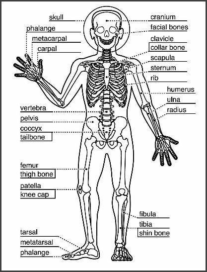 Skeletal System Worksheet   skeleton system   Pinterest   Skeletal ...