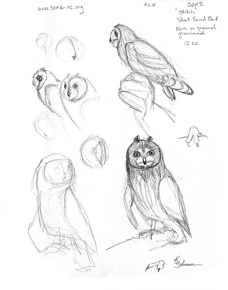 Shorteared Owl Picture How To Draw An Owl How To Draw Birds Studies