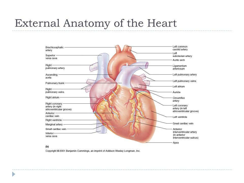 notes anatomy of the heart exercise 20 | Heart Anatomy | Pinterest