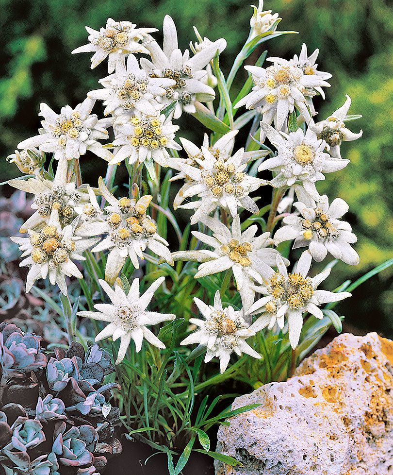 404 You Seem To Be Lost Get Garden Orchids In Uk Edelweiss Flower Flower Seeds Plants