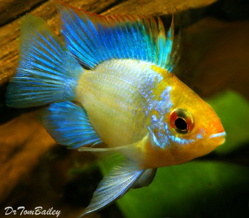 Premium Rare Electric Blue Balloon Ram Cichlid 1 To 1 5 Long Aquarium Fish Cichlids Colorful Fish