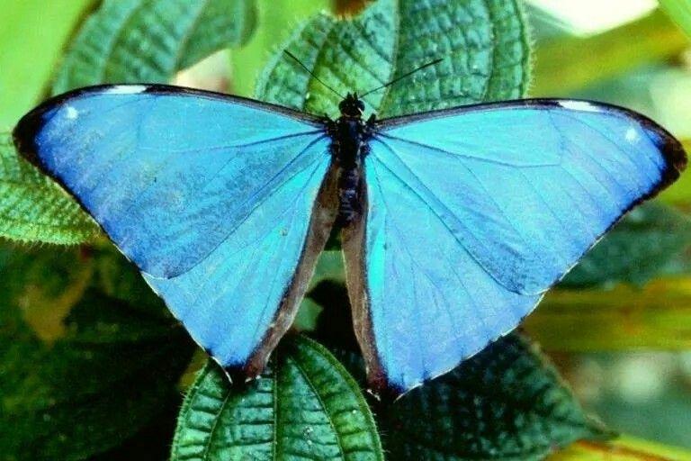 Borboleta seda-azul ou telão-de-seda-azul, Morpho aega