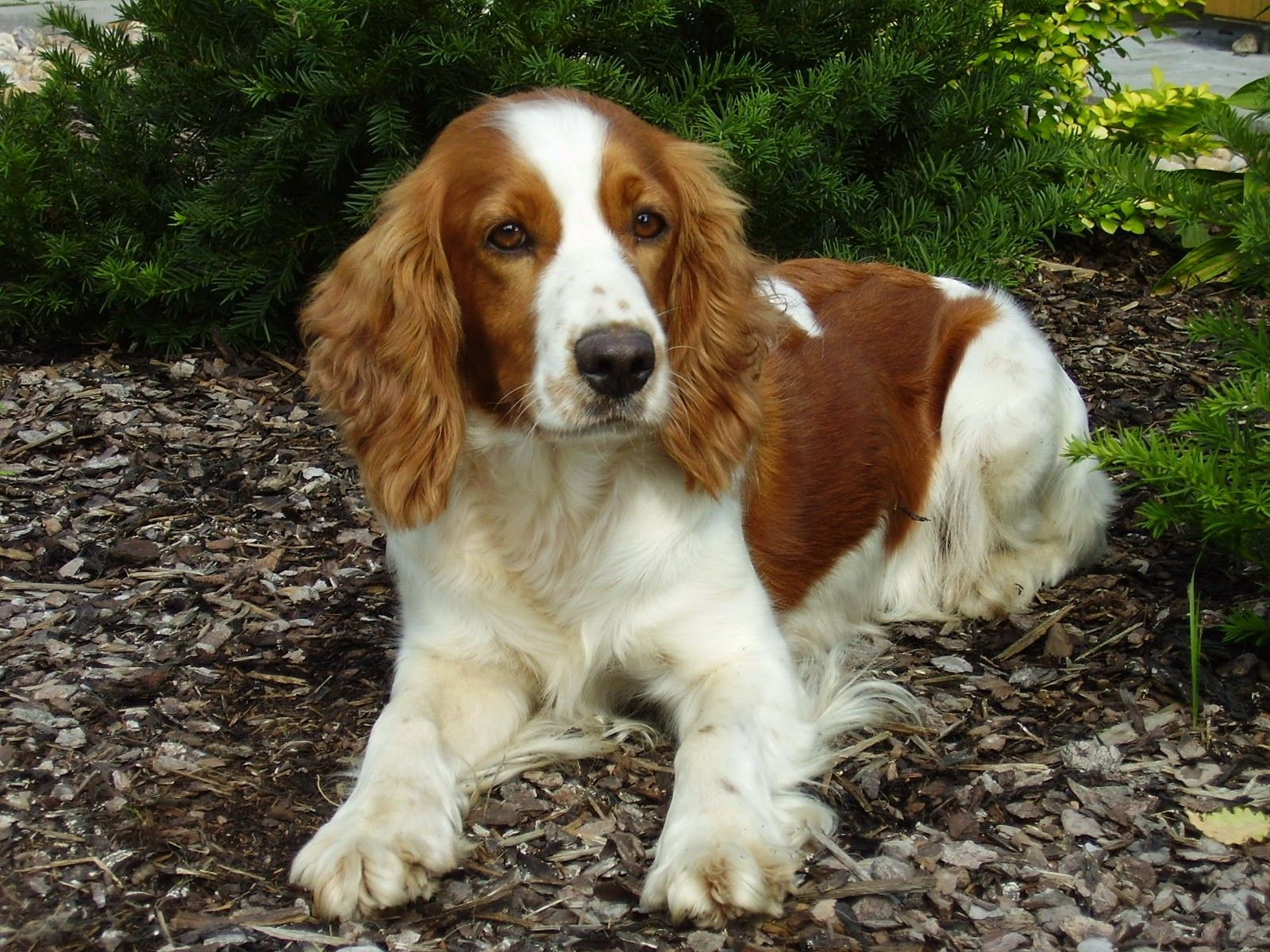 Sad Eyes Welsh Springer Spaniel Dog Photo Look At Those Faces