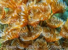 Heart Feather Duster Worm Google Search Feather Duster Worms For Sale Reef Tank