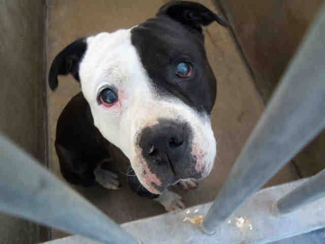 Another Senior 8 9 Year Old Male Pitbull Dumped At Orange County