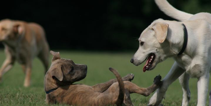 Dogs Playing Duke Canine Cognition Center Dog Psychology Dog