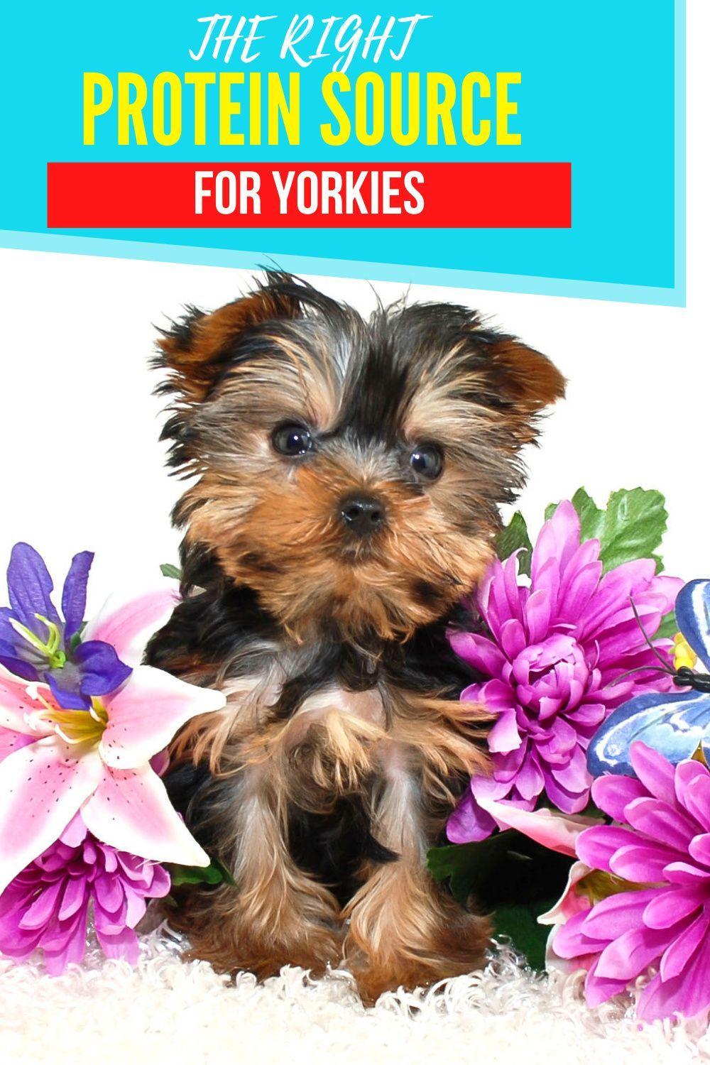The Right Protein Source For Yorkies Yorkie Best Dog Food Wet Dog Food