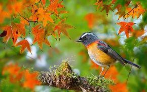 Обои осень, фотограф, птица, Тайвань, Collared Bush-Robin, FuYi Chen, ошейниковая, боке, листья, мох, клён, ветка, макро, ...