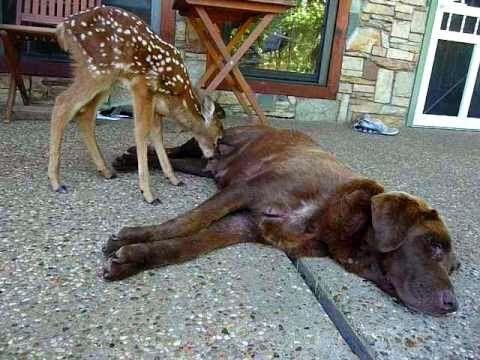 Orphan Deer Raised and Nursed by Chocolate Lab (Video)