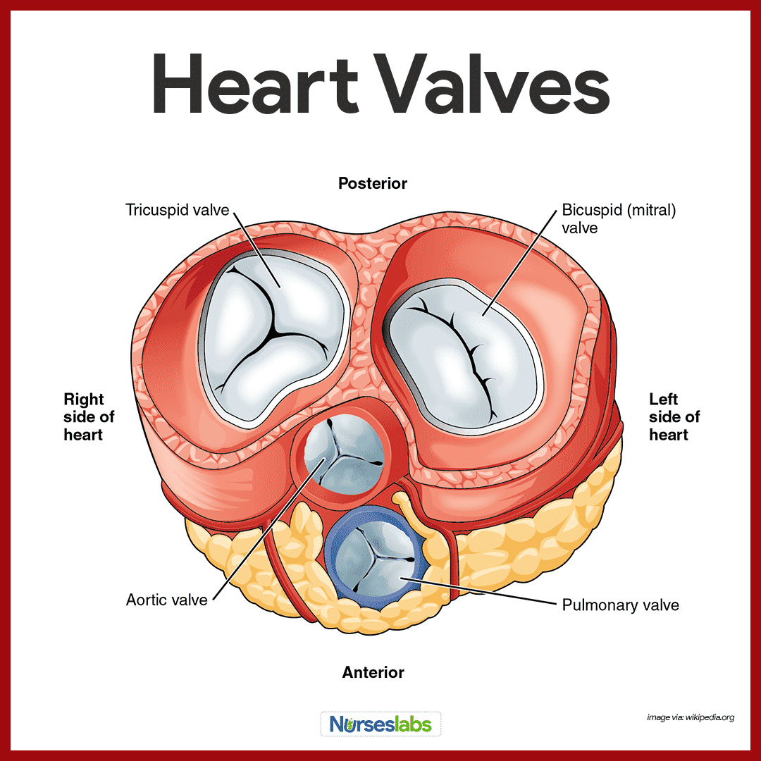 Cardiovascular System Anatomy and Physiology | RN | Pinterest ...