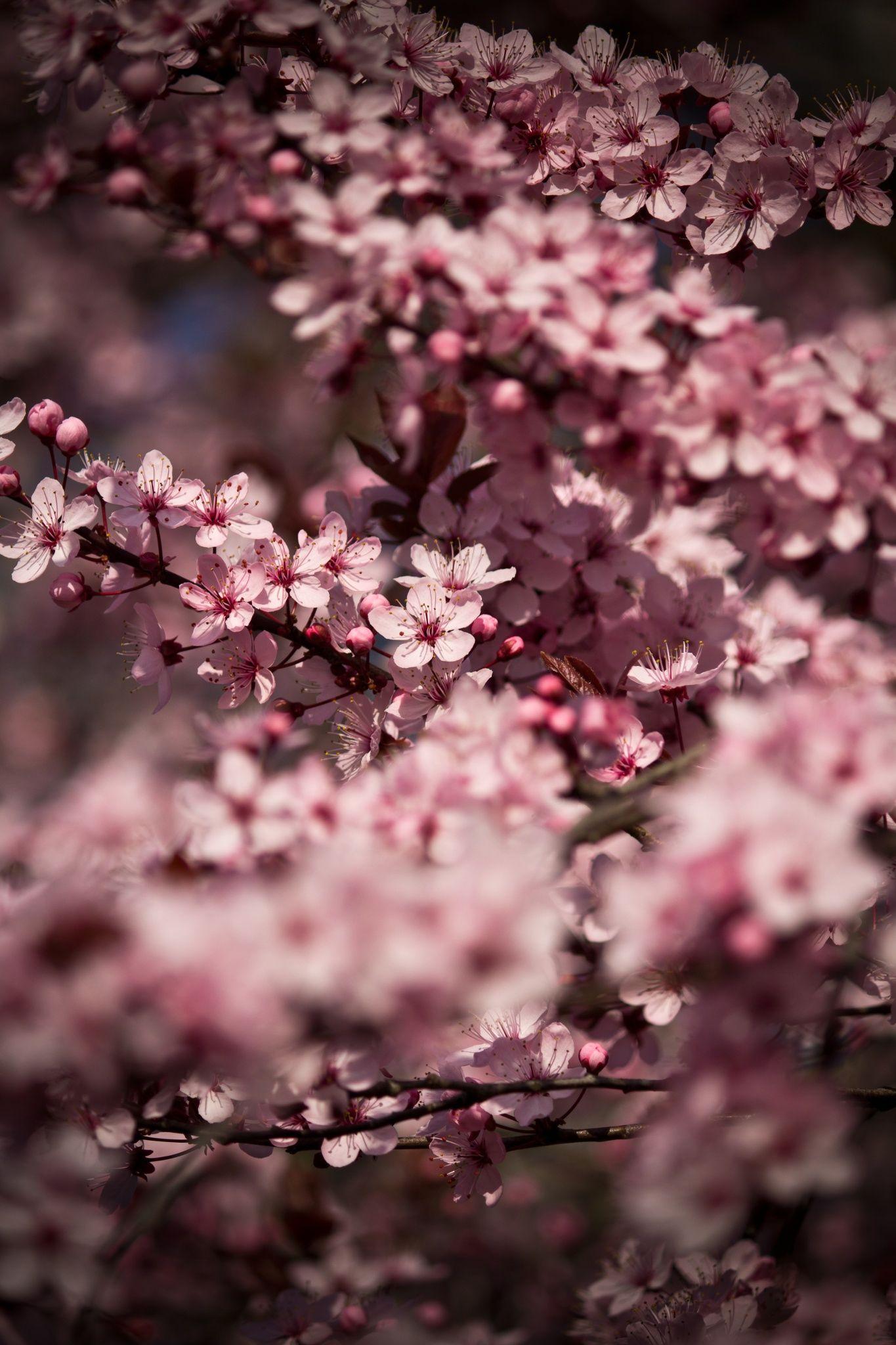 Cherry Blossom Blossom Cherry Blossom Tree Plum Blossom