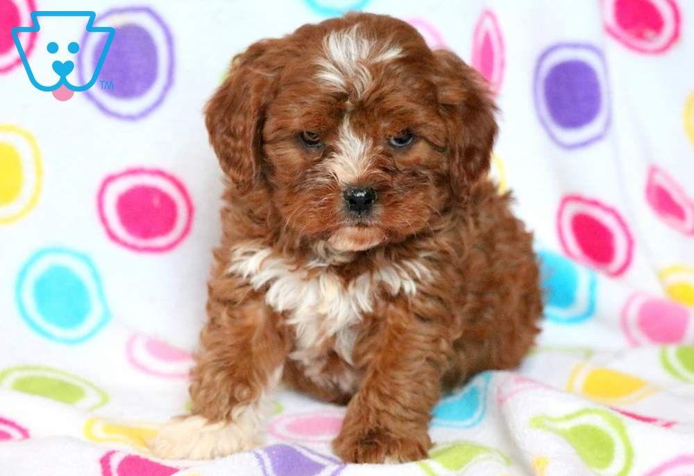 Petey Cavapoo Puppy For Sale Keystone Puppies Cavapoo Puppies Cavapoo Puppies For Sale Puppies
