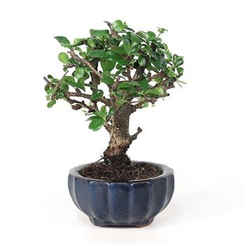 Bonsai - Fujian Tea Bonsai Tree from EasternLeaf.com#bonsai #easternleafcom #fujian #tea #tree