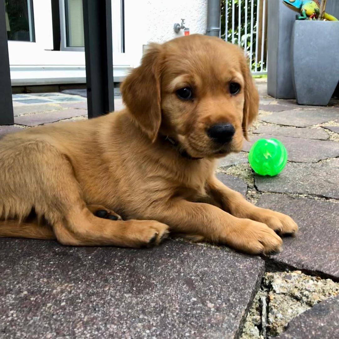 Ich Bin Von Meiner Mutter Ausgezogen Und Habe Jetzt N Eigene Wg Mit Drei Zweibeinern Goldenretriever Welpen Pup In 2020 Puppy Breeds Cute Puppy Breeds Cute Puppies