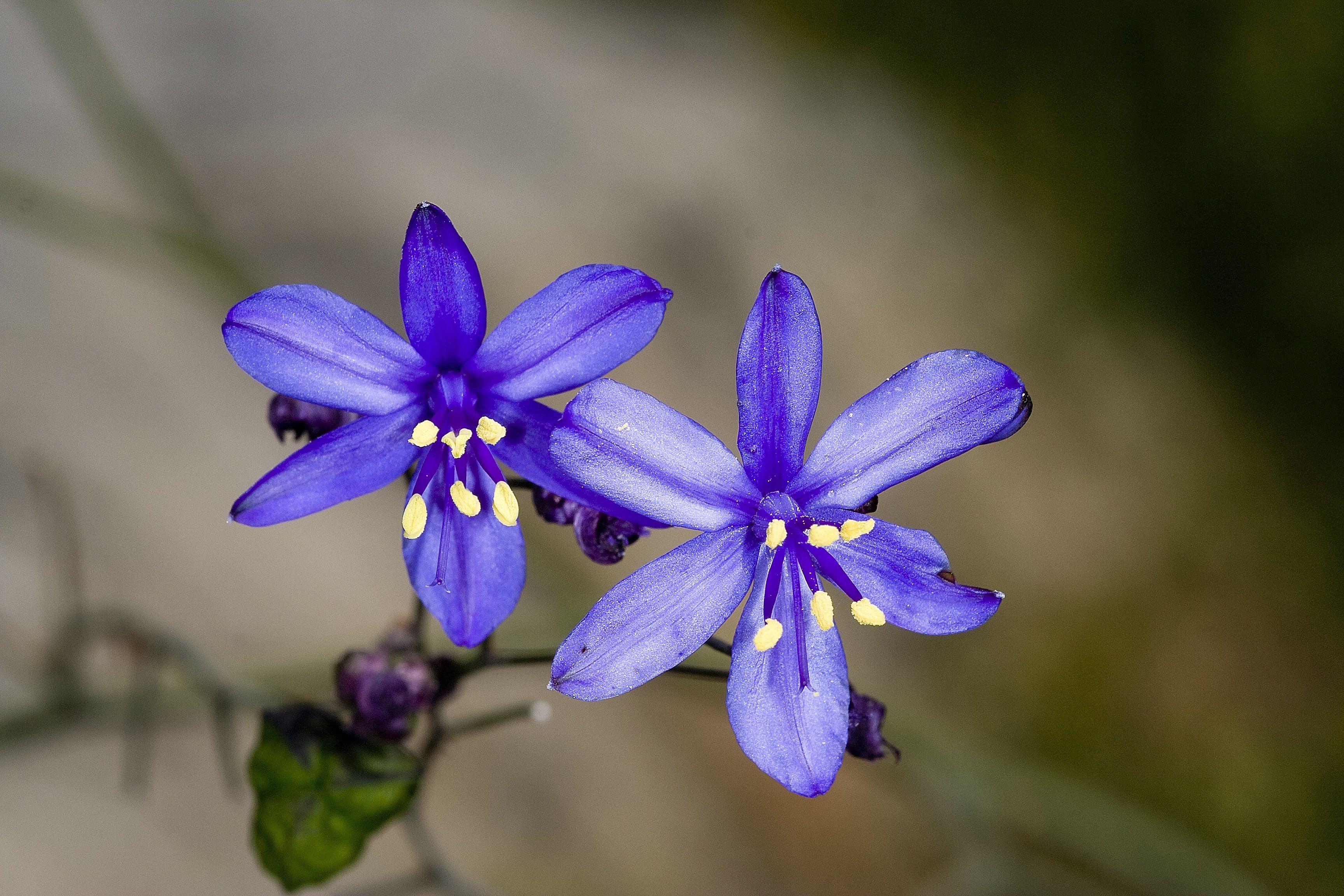 Azulillo (Pasithea Coerulea) | Flores, Plantas, Te amo