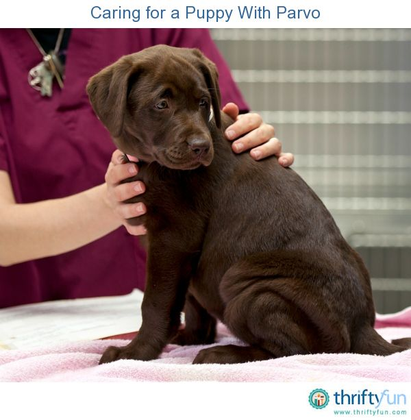Caring For A Puppy With Parvo Dogs Puppies Your Pet