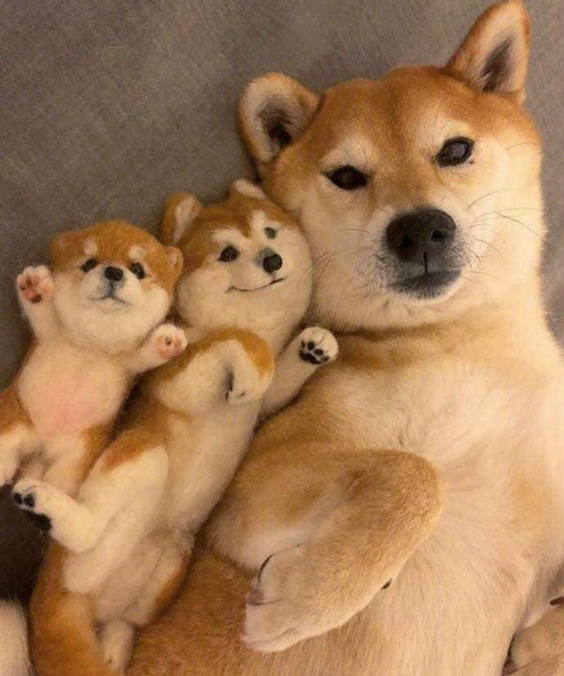 Sui A Inu Animaux Adorables Animaux Droles Animaux