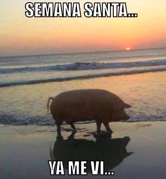 Semana Santa Ya Me Vi Funny Pictures Rare Pictures Cute Pigs